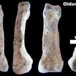 Olduvai Hominin 86 (OH 86) – cea mai primitivă mână umană