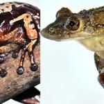 Primele broaște veninoase – Aparasphenodon brunoi și Corythomantis greeningi