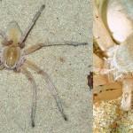 May bruno, un nou păianjen vânător