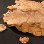 Arvinachelys goldeni – o țestoasă unică