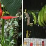 Musa nanensis sau Kluai Si Nan – un nou bananier din Thailanda