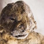 Doi pui de Leu de peșteră descoperiți în Siberia