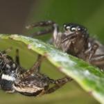 Jotus remus – un păianjen cu vâsle