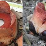 Rafflesia consueloae – cea mai mică floare gigant