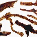 Tortotubus – cea mai veche fosilă terestră descoperită până acum