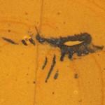 Aquilonifer spinosus – un artropod grijuliu, dar fără succes