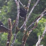 Ciorile din Noua Caledonie uimesc din nou (video)