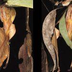 Poltys – Păianjen frunză descoperit în China