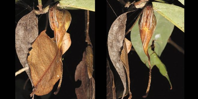 paianjen frunza