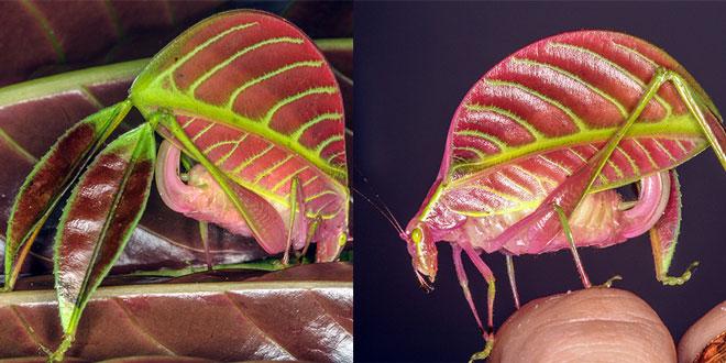 Eulophophyllum