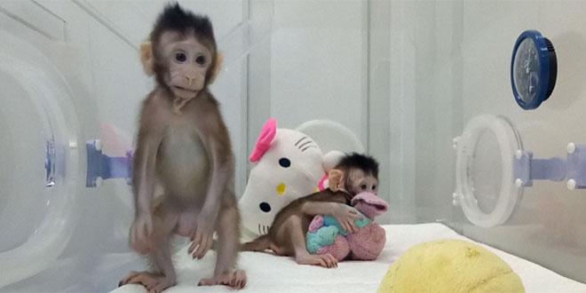 maimuțe colnate