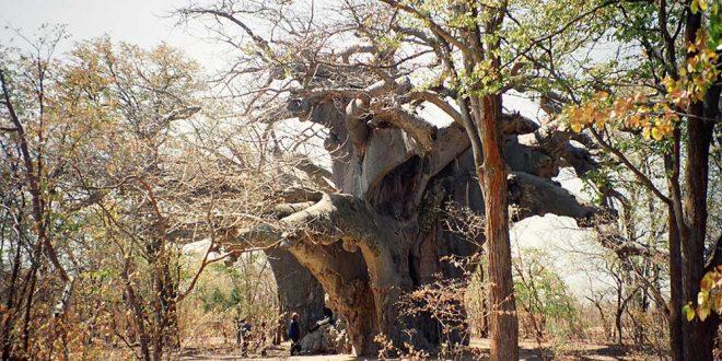 Baobabul Panke