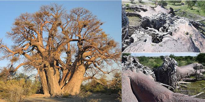 Baobab african