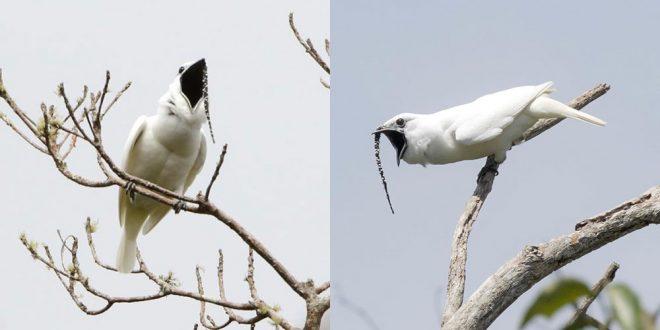 Pasărea-clopot albă